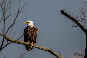 Bald Eagle at Summit Lake State Park. Photo Courtesy of Tim Conley